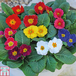 Primrose 'Husky Mixed' (Garden Ready)
