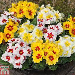 Primrose 'Bright Eyes Mixed'