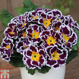 Primrose 'Scirocco Lilac'
