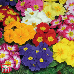 Primrose 'Bonneli Mixed' Pre-Planted Basket