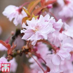 Prunus incisa 'Oshidori' (Standard)