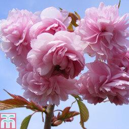 Prunus 'Kiku-shidare-zakura'