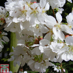 Prunus 'Snow Showers'