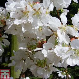 Prunus 'Snow Showers'
