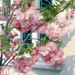 Prunus 'Little Pink Perfection'