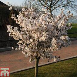 Prunus 'The Bride'