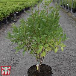 Prunus tenella 'Fire Hill'