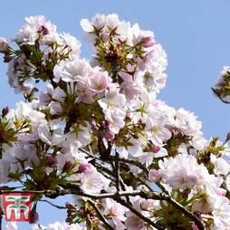Prunus 'Amanogawa'