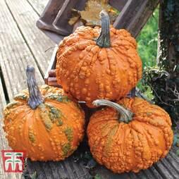 Pumpkin Zombie F1 Hybrid