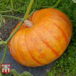 Pumpkin Rouge Vif D'Etamps