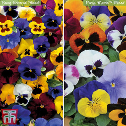 Pansy 'Winter Flowering Duo'