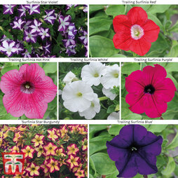Petunia 'Surfinia' Exclusive Collection