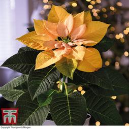 Poinsettia 'Golden Glo' - Gift