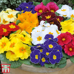 Primrose 'World's Most Scented Mix'