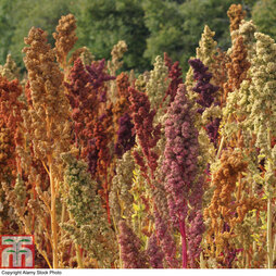 Quinoa 'Rainbow'
