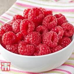 Raspberry 'Glen Ample' (Summer fruiting)