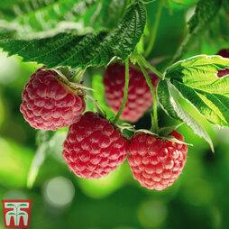 Raspberry 'Polka' (Autumn fruiting)