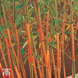 Umbrella Bamboo 'Red Fountain'