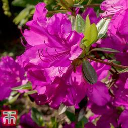 Rhododendron 'Blue Danube'