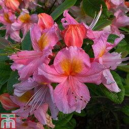 Rhododendron 'Berryrose' (Azalea Group)