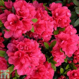 Rhododendron 'Canzonetta' (Azalea Group)