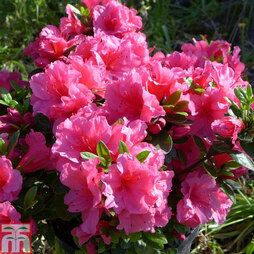 Rhododendron 'Chipmunk' (Azalea Group)
