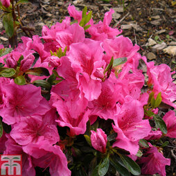 Rhododendron 'Dearest' (Hyde) (Azalea Group)