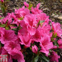 Rhododendron 'Dearest' (Hyde) (Azalea Group)