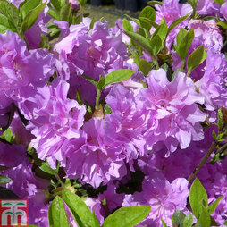 Rhododendron 'Elsie Lee' (Azalea Group)
