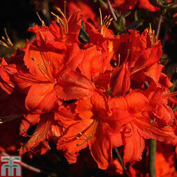 Rhododendron 'Fireball' (Azalea Group)