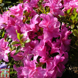 Rhododendron 'Flower Arranger' (Hyde) (Azalea Group)