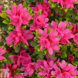 Rhododendron 'Geisha Pink' (Azalea Group)