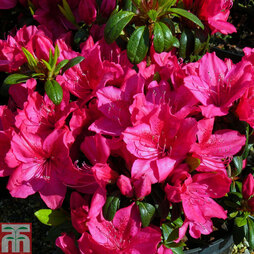 Rhododendron 'Georg Arends' (Azalea Group)