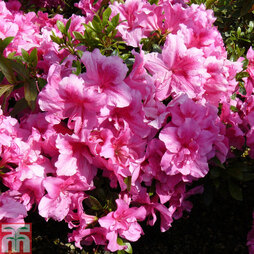 Rhododendron 'George Hyde' (Hyde) (Azalea Group)