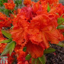 Rhododendron 'Gibraltar' (Azalea Group)