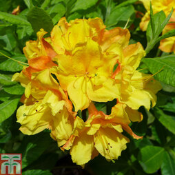 Rhododendron 'Glowing Embers' (Azalea Group)