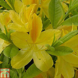 Rhododendron 'Gold Topas' (Azalea Group)
