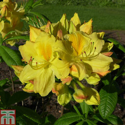 Rhododendron 'Golden Sunset' (Azalea Group)