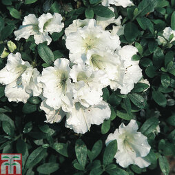 Rhododendron 'Gumpo White' (Azalea Group)