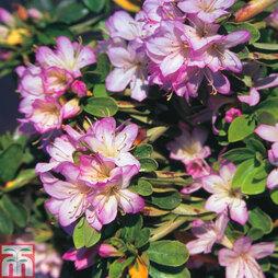 Rhododendron 'Irohayama' (Azalea Group)