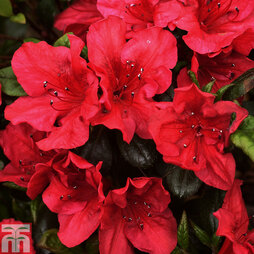 Rhododendron 'Johanna' (Azalea Group)