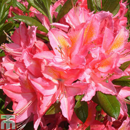 Rhododendron 'Jolie Madame' (Azalea Group)