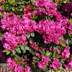 Rhododendron 'Magic Flute' (Hyde) (Azalea Group)