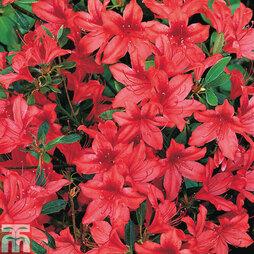 Rhododendron 'Marilee' (Azalea Group)