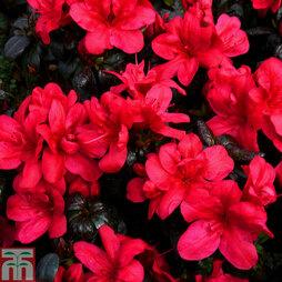 Rhododendron 'Maruschka' (Azalea Group)