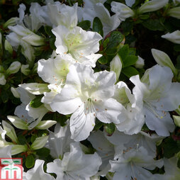 Rhododendron 'Mary Helen' (Azalea Group)
