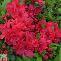 Rhododendron 'Mother's Day' (Azalea Group)