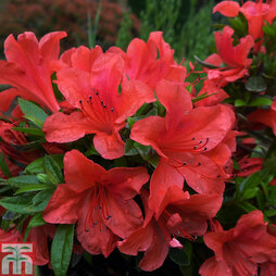 Rhododendron nakaharae orange-flowered (Azalea Group)
