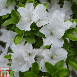 Rhododendron 'Panda' (Azalea Group)