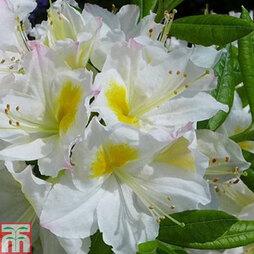 Rhododendron 'Persil' (Azalea Group)